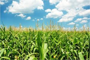 corn picture