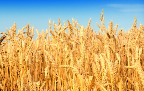 Wheat-Fields-1920X1200-Wallpaper-33