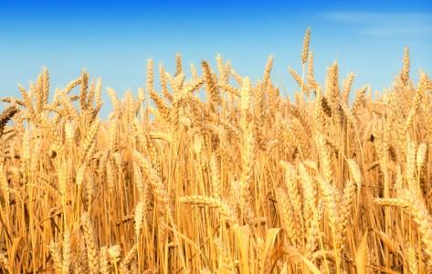Wheat-Fields-1920X1200-Wallpaper-33
